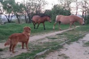 Excited Golden Retriever Desperately Attempts To Befriend Horses 9