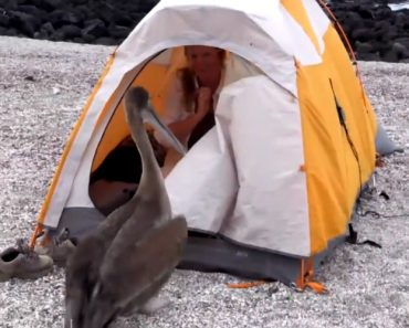 An Extremely Friendly Galapágos Pelican Hilariously Invades the Tent of a BBC 'Blue Planet II' Director 7