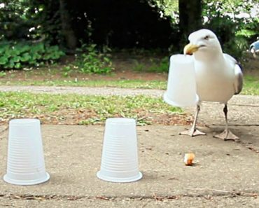 Seagull Wins At Shell Game Every Time 1