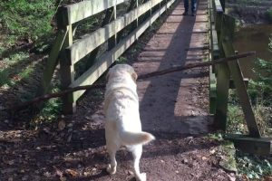 An Amusingly Persistent Dog Tries To Figure Out How To Carry A Long Stick Across A Narrow Bridge 11