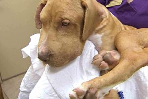 Puppy Recovers After Being Stung Over 400 Times By A Swarm Of Bees 10