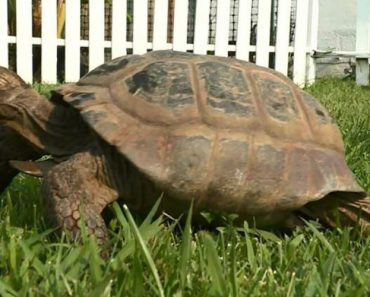 100-Year-Old Tortoise Falls in Love With Pipe Cover 2