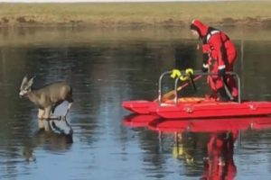 Firefighters Help Deer Stuck on Frozen Pond Get Back to Land 10
