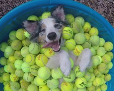 Dog Relaxing In A Kiddie Pool Full Of Tennis Balls Is Way Too Cute 9