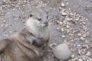 This Stone-Juggling Otter Is About To Steal Your Heart With His Adorable Talents 12