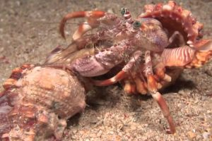 Incredible Footage Of Hermit Crab Changing Shells With Anemones! 11
