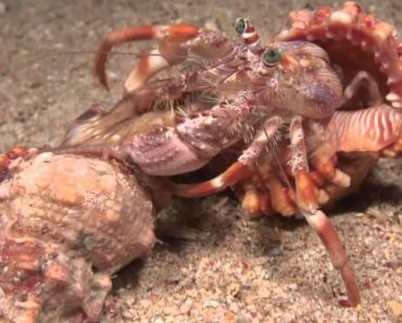 Incredible Footage Of Hermit Crab Changing Shells With Anemones! 6