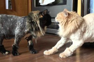 Cat Shaving Experiment Fails Miserably 12