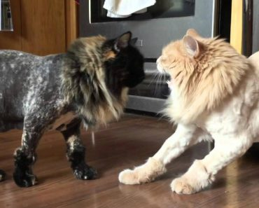 Cat Shaving Experiment Fails Miserably 7