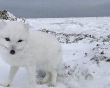 Incredible Footage Shows Friendly Arctic Fox Greeting Explorers 5