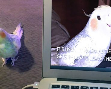 Lucky The iPhone Singing Cockatiel Is OVER It! 7