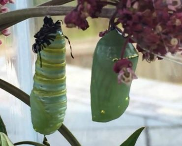 See How It Looks Like For A Monarch Caterpillar To Form The Chrysalis Cocoon Process 5