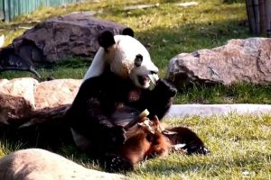 Panda Tries Out For 'Olympics' With Epic Floor, Balance Beam Routine 12
