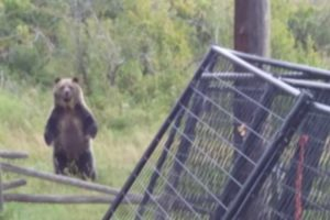 Duck Owners Interrupt Fearless Grizzly Family Lunch 10