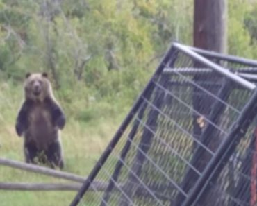 Duck Owners Interrupt Fearless Grizzly Family Lunch 9