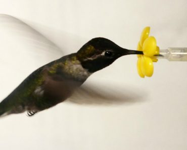 What Happens When You Put a Hummingbird in a Wind Tunnel? 1