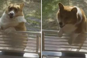 Little Corgi Can't Get Over The Fence Blocking His Doorway 10