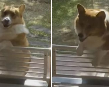 Little Corgi Can't Get Over The Fence Blocking His Doorway 8