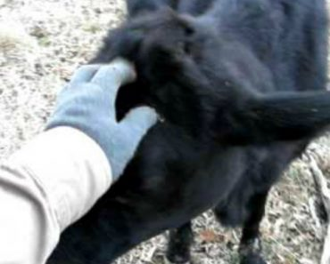Cute Cow Interrupts Man's Deer Hunt 9