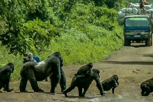 Silverback Gorilla Stands In The Middle Of The Road To Block Traffic So His Family Can Safely Cross 12