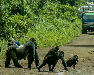 Silverback Gorilla Stands In The Middle Of The Road To Block Traffic So His Family Can Safely Cross 1