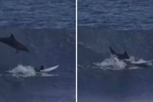 Dolphin Jumping Out Of The Waves And Smash Through A Surfboard 10