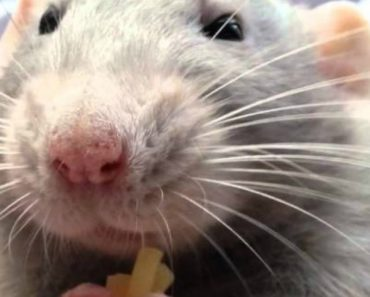 If You Thought Rats Were Incapable Of Looking Precious, You Thought Wrong! 3