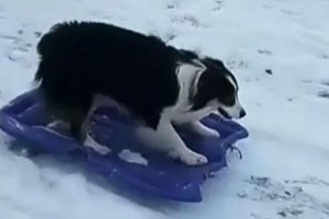 Dog Drags Sled up Snowy Hill and Goes on a Wild Ride 11