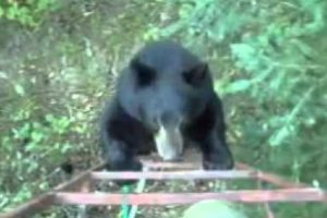 Hunter Scares Off A Bear Who Climbs On His Tree Stand In The Most Canadian Way 10
