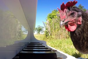 Chicken Playing Piano 11