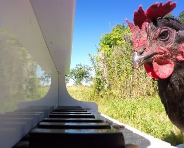 Chicken Playing Piano 3