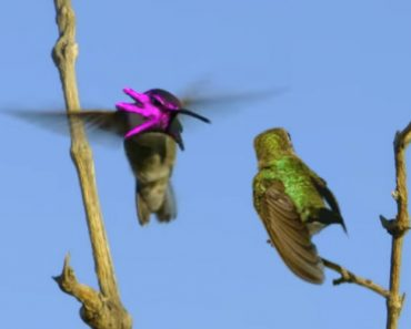 A Hopeful Male Hummingbird Transforms His Face Into A Brightly Colored Baby Octopus Mask 8