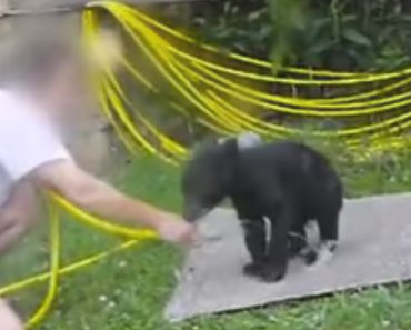 Energetic Bear Cub Plays Slip 'N' Slide As It Gets A Hose Down 8