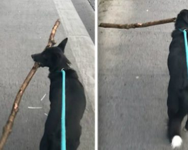 Dog Adds A Another Fine Stick To Her Collection 1