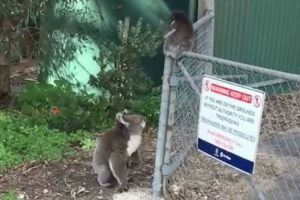 When Her Baby Got Stuck On A Fence, This Mother Koala Raced Over To Save The Day 12