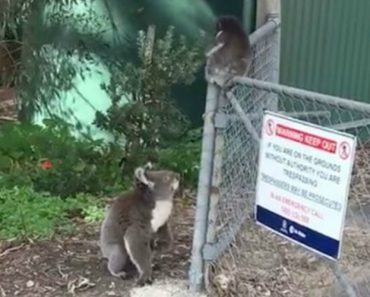 When Her Baby Got Stuck On A Fence, This Mother Koala Raced Over To Save The Day 6