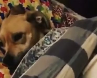 A Sleepy Dog Gets Lovingly Tucked In For The Night After Being Asked If She Wanted To Go To Bed 1