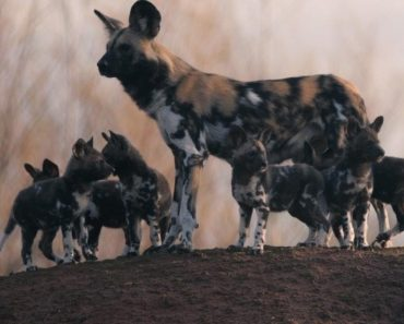 Rare African Painted Dog Pups Make First Appearance Trying to Keep up with Mom 3