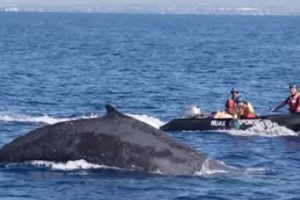 Rescue Team Rushes to Free Entangled Humpback Whale Near Hawaii 11
