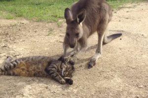 Kangaroo Tries Saying Sorry to Cat 11