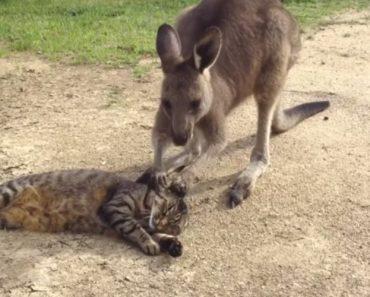 Kangaroo Tries Saying Sorry to Cat 4
