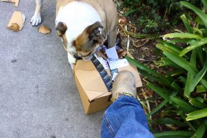 Bulldog Excitedly Opens Her New Package 11