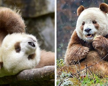 Qizai Is The World's Only Brown Panda 6
