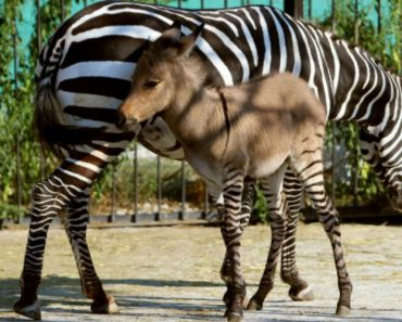 Rare Half-Zebra Half-Donkey Is Born In China! 4