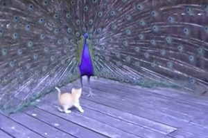 Adorable Kitten Meets A Huge Peacock And Things Get Out Of Control Fast 10