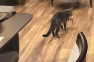Woman Freaks Out When She Noticed Her Cat Caught A Rat In The House 11