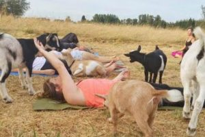 How Goat Yoga Became the Latest Workout Craze 10