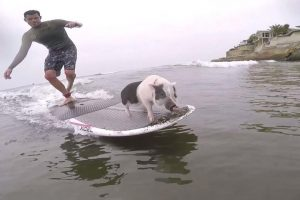 Surfing Pig Named Pickles Adds Painting to His Resume 11