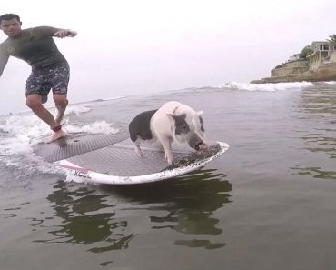 Surfing Pig Named Pickles Adds Painting to His Resume 1