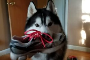 Husky Argues With Owner About Suspected Stolen Shoe, Returns It Anyway 12
